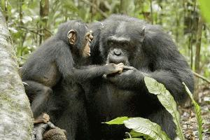 IMAGE FROM Chimpanzee